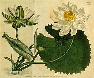 Nymphaea lotus.