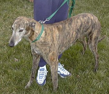 English: Brindle greyhound