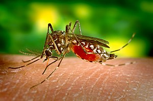 English: The yellow fever mosquito Aedes aegyp...