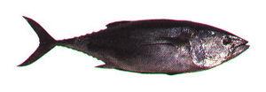 English: Bluefin tuna.
