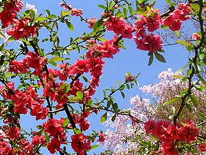 Cherry Blossom (Sakura)