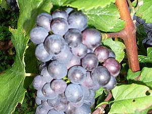 Pinot noir growing in the French wine region o...