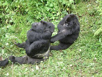 English: Silverback Mountain Gorilla with one ...
