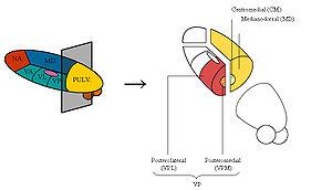 Parts of the thalamus
