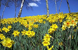 A show of daffodils by the A6091 Melrose bypas...
