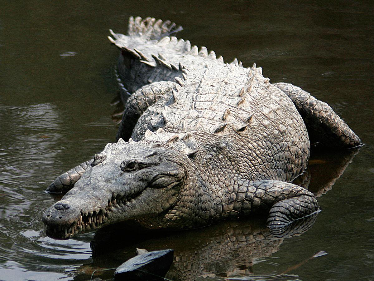 Image of: Crocodile Hatchlings American Crocodile Pinterest American Crocodile Wikipedia