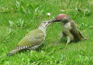 English: Adult green woodpecker feeding a juve...
