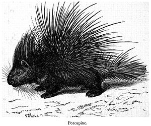 Indian Porcupine, Hystrix indica