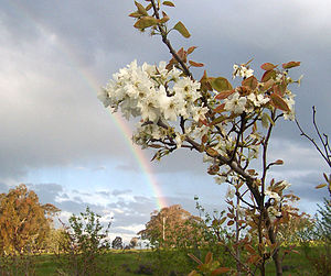 A tree of Pyrus pyrifolia in bloom