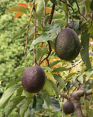 Avocados (Persea americana) Français : Avocats...