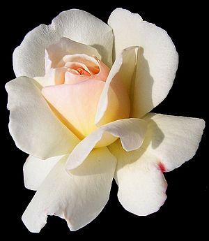 English: The white rose