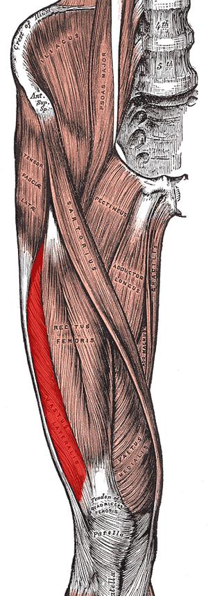 Vastus lateralis muscle