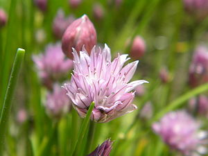 English: Chive flower in focus, with buds and ...