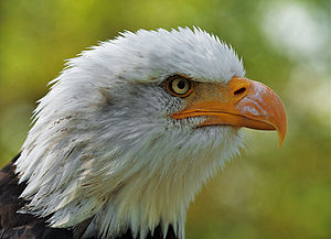 English: Bald eagle (Haliaeetus leucocephalus)...