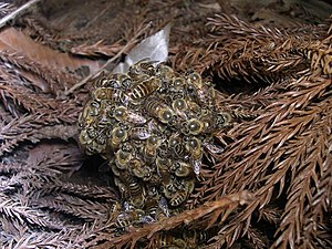 English: The Japanese honeybees (Apis cerana j...