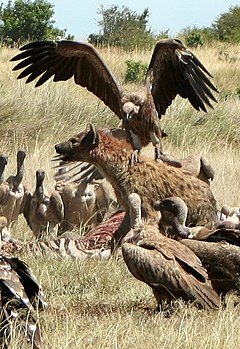 Hyena and vultures. Image via Wikipedia.