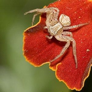 Crab spider Xysticus spec. in Dresden, Saxony,...
