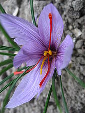 saffron and where to buy it.