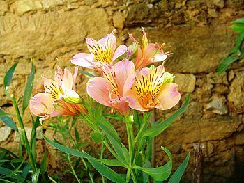 English: Flores