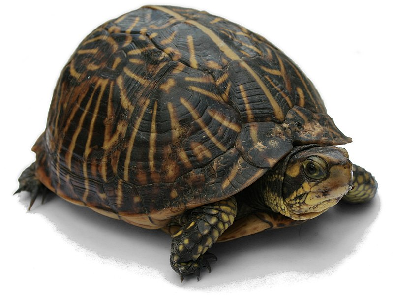 File:Florida Box Turtle Digon3 re-edited.jpg
