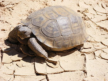 Gopherus agassizii photographed in the Mojave ...