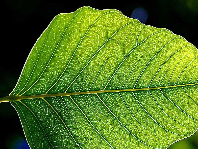 File:Leaf 1 web.jpg