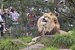 Lion at Melbourne Zoo enjoying an elevated gra...