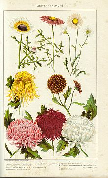 Chrysanthemum   Wikipedia Historical painting of chrysanthemums from the New International  Encyclopedia  1902