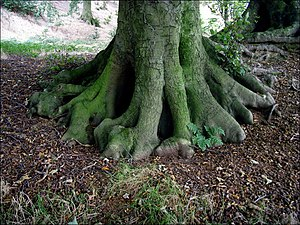 English: Tree roots A rather distinctive tree ...