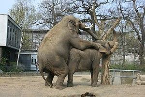 Deutsch: Zwei Elefanten im Zoologischen Garten...
