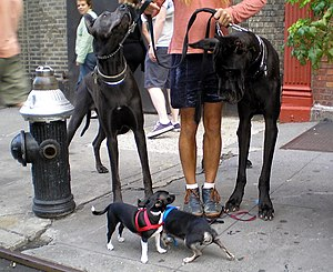 Great Danes and Chihuahuas by David Shankbone,...