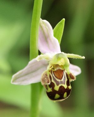 A Bee orchid has evolved over many generations...