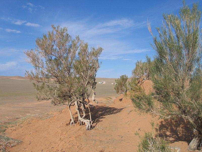 Saksauł - sucholubne rośliny krzaczaste należace do tego rodzaju zasiedlają pustynie i półpustynie głównie Azji.