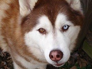 """A copper """"bi-eye"""" Siberian Husky."""