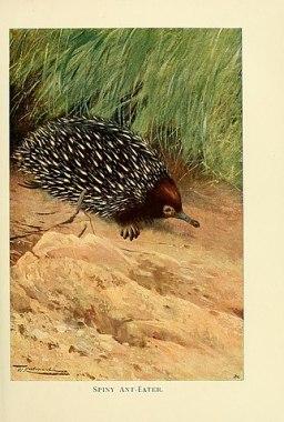 Los Equidnas pertenecen a la familia de mamíferos Monotremas