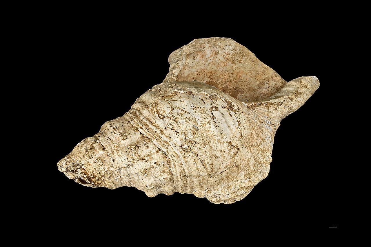 Risultati immagini per turbinella pyrum trumpet ancient
