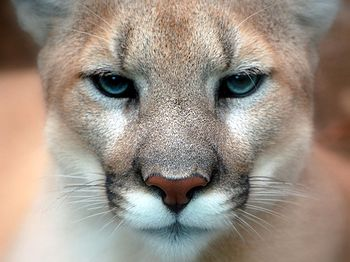 Cougar / Puma / Mountain Lion / Panther (Puma ...