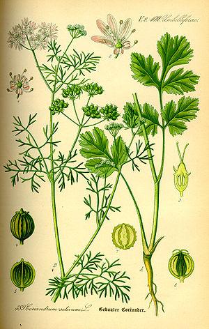 ;Name:Coriandrum sativum ;Family:Apiaceae