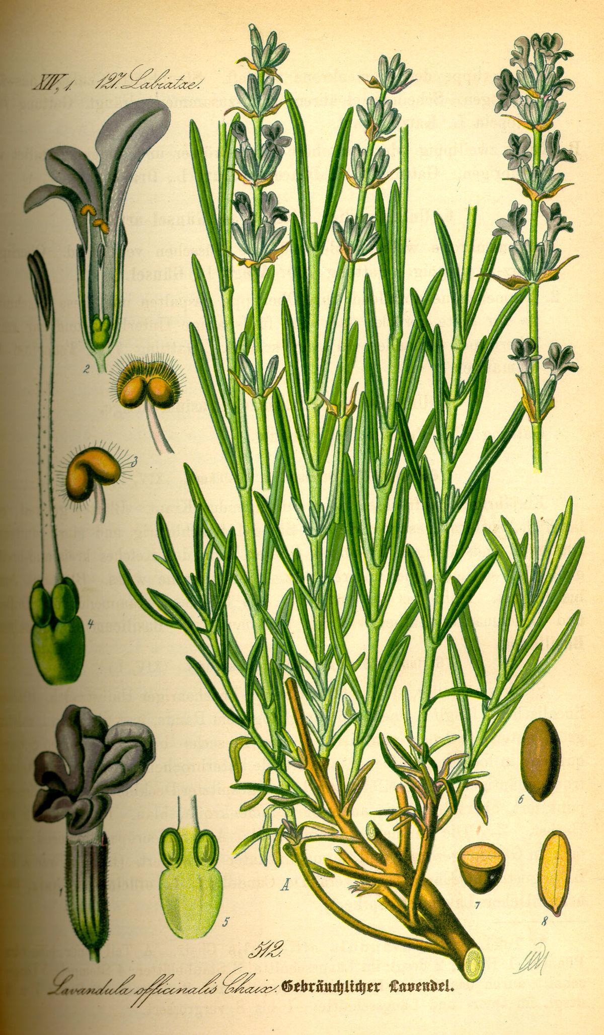 Lavandula Angustifolia Wikispecies