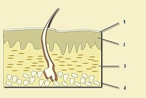 English: Skin layers. 1: Epithelium (part of t...