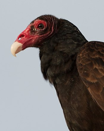 Turkey Vulture in Miami, Florida, USA.