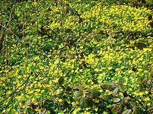 English: Ranunculus ficaria (Celandine) in ful...