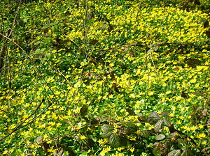 English: Ranunculus ficaria (Celandine) in ful...