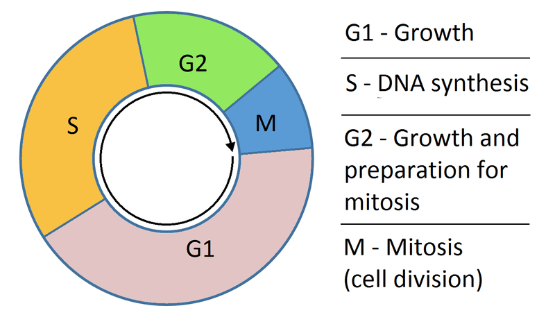 File:Cell cycle simple.png