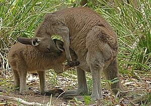 An Eastern Grey Kangaroo (Macropus giganteus) ...