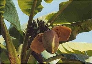 Fiore di banano (Musa ×paradisiaca), pianta de...