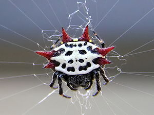 Spiny orb-weaver spider (Gasteracantha cancrif...