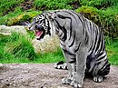 Maltese Tiger.jpg