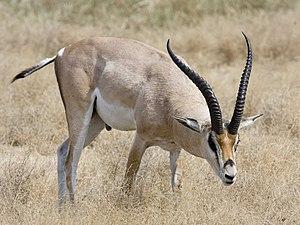 Deutsch: Grant-Gazelle (Gazella granti) beim F...