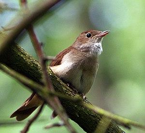 English: Common Nightingale (Luscinia megarhyn...